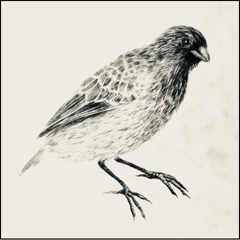 Sketch of Galapagos Ground Finch